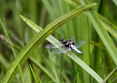 Dragonfly, Broad-bodied Chaser, New Forest 999 (ElizFlickr) Tags: trip field dragonfly birding hampshire newforest birdwatchers rspb broadbodiedchaser libelluladepressa eastsurreyrspb