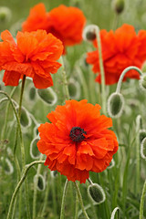 Orange Poppies (My_Minds_Eye) Tags: flowers orange plants flower detail macro nature colors beautiful closeup canon outdoors spring pretty details idaho upclose coeurdalene orangepoppy northidaho floura canonshooter t2i