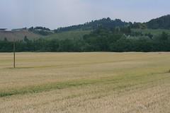 Campi di grano (Matteo Bimonte) Tags: campo grano campi sanminiato frumento palagio