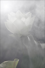 Lotus Flower -IMG_0674-800 (Bahman Farzad) Tags: flower macro yoga peace lotus relaxing peaceful meditation therapy lotusflower lotuspetal lotuspetals lotusflowerpetals lotusflowerpetal