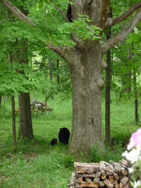 Bear Cubs!