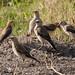 Amboseli, Wattled Starling