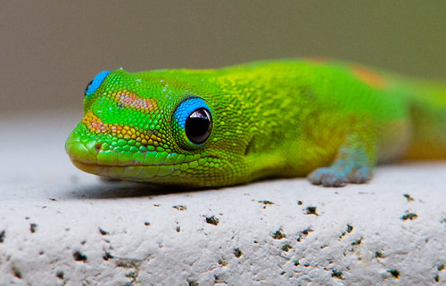 Gold dust day gecko (Phelsuma laticauda laticauda)