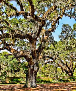 200 Year-Old Oak