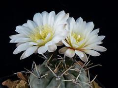Gymnocalycium gibbosum v. brachypetalum P101 (clement_peiffer) Tags: gymnocalycium gibbosum v brachypetalum p101 d7100 105mm nikon cactus fleurs flower cactaceae succulent flowerscolors