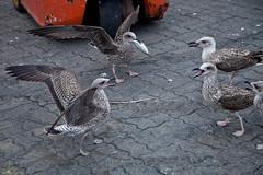 I need help!... (JOAO DE BARROS) Tags: barros joao seagull animal bird
