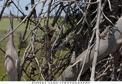 Instinct (Robert Lang Photography) Tags: tree bird heron fauna native wildlife australian australia camouflage habitat southaustralia eyrepeninsula