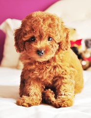 teddy bear puppy (girl enchanted) Tags: red cute naughty puppy toy adorable poodle muppet pinocchio toypoodle poodlepuppy redpoodle
