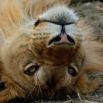 Ruaha lion