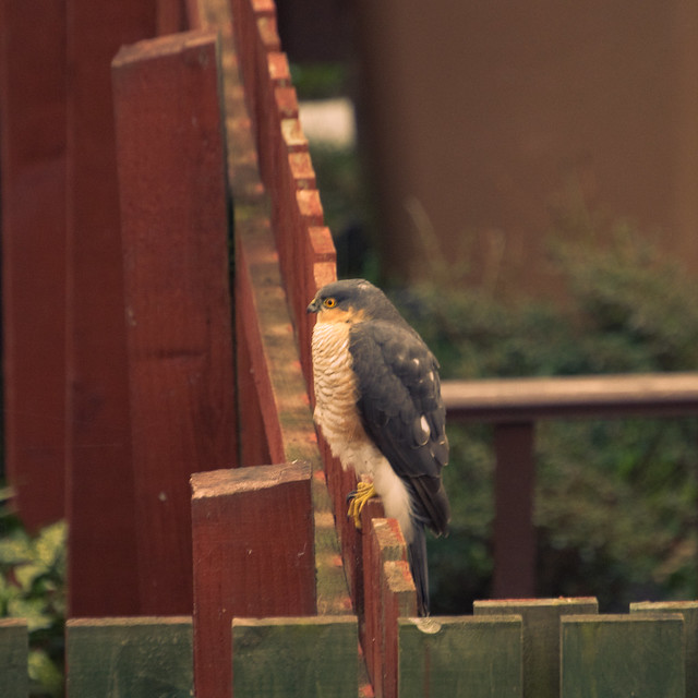 250311_ Sparrowhawk #4
