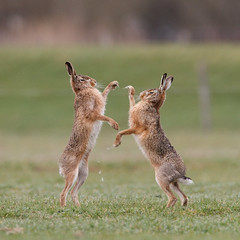 Boxing Hares (Pim leijen) Tags: hare boxing fighting hares hempolderhaas