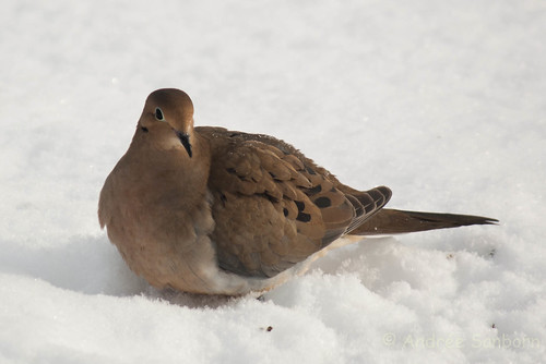 Mourning dove (10 of 44).jpg