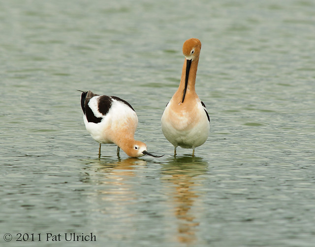 Avocet peening to impress - Pat Ulrich Wildlife Photography