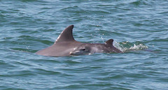 Baby and Mother Bottle Nosed Dolphin (wgregoryl) Tags: blue baby green nature water animal swimming mammal photo dolphin pair mother dolphins splash canonef28135mmf3556isusm babydolphin bottlenoseddolphins bottlenoseddolphin canoneos50d motherandbabydolphins