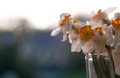 Dead daffs (It's life Jim....) Tags: flowers dead clich project365 fgr clichsaturday 3652011