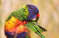 """Just preening my pretty feathers.."" (Gemma Malenoir) Tags: bird beautiful canon happy eos rainbow pretty day colours feathers preening lorikeet mothers tropical captive avian chessington colouful 500d chessingtonworldofadventures trichoglossushaematodus chessingtonzoo specanimal"