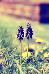 Grape Hyacinth (dbnunley) Tags: flower canon purple blossom grape hyacinth 60d