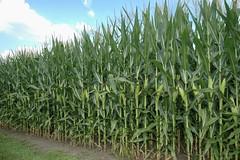 DeKalb County has lots of corn!