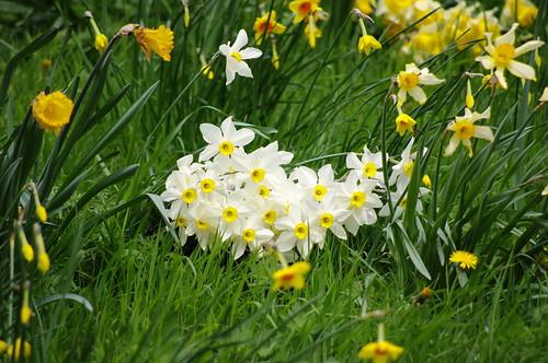 Darker Daffodils 13