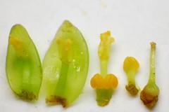 Lauraceae Machilus thunbergii (taiwanicus) Tags: pistil stamen ovary gland  tepals  valvedehidscence