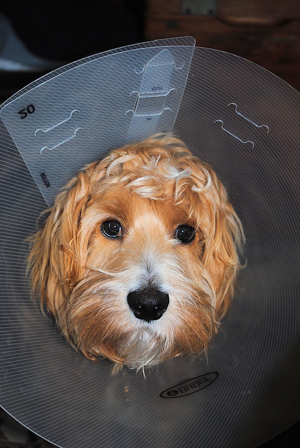 Neuter Day: Cone of Shame