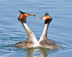 Lets Dance (Andrew H Wildlife Images) Tags: bird nature dance rugby wildlife warwickshire greatcrestedgrebe draycotewater canon7d ajh2008