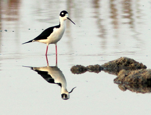 Black-necked Stilt 20110412