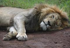 Male Lion, Ngorogoro Crater
