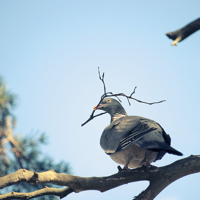 Wood Pigeon Nesting