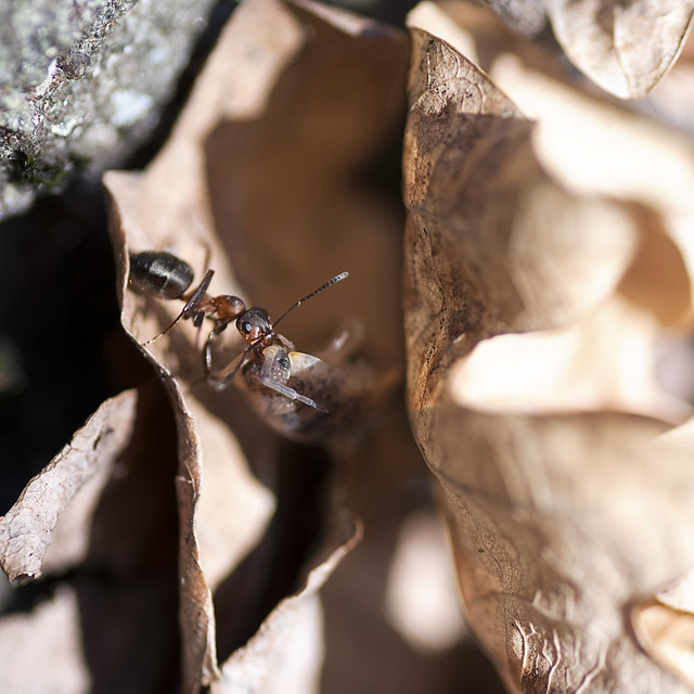 Ant with Isopod