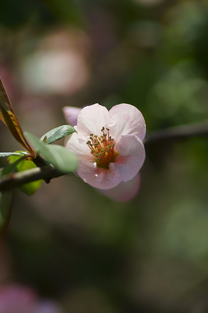 Japanese quince 11