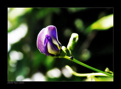 The color of love! (e.nhan) Tags: flowers light flower art nature closeup landscape colorful colours dof bokeh arts violet backlighting enhan