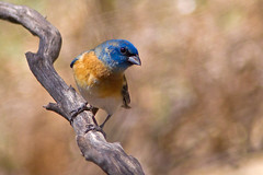 IMG_7730 Lazuli Bunting (lois manowitz) Tags: buntings supershot