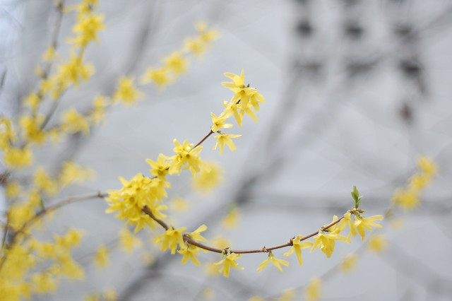 forsooth forsythia