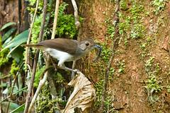 white-chested babbler IMG_4086 (shirl6900) Tags: bird nature borneo sabah sepilok avian whitechestedbabbler trichastomarostratum