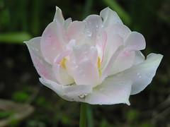 2011.04.22  Tulip Angelique (eriko_jpn) Tags: pink rain pinkflower tulip raindrops waterdrops tulipangelique