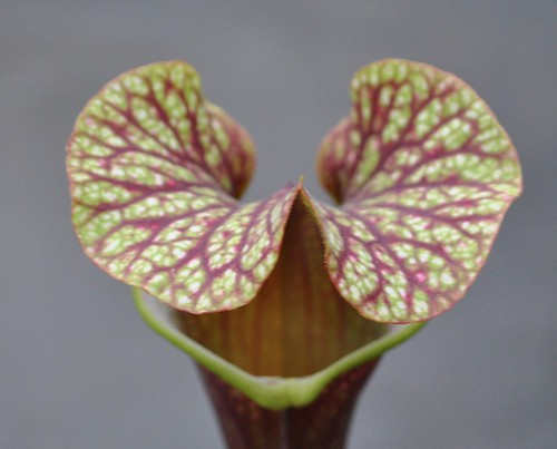 Sarracenia 'Royal Ruby' x 'Judith Hindle'