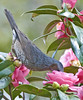 Brown-eared Bulbul Feeding On Camellias (aeschylus18917) Tags: danielruyle aeschylus18917 danruyle druyle ダニエルルール ダニエル ルール japan 日本 nikon d700 season 季節 seasons spring wildlife nature bird nikond700 200400mmf40gvr 200400mmf4gvr 鳥 macro flower 花 flowers camellia ericales theaceae tsubaki 椿 camelliajaponica pink birds feathers bulbul brownearedbulbul hiyodori ヒヨドリ aves passeriformes pycnonotidae microscelis microscelisamaurotis saitama prefecture 埼玉県 saitamaken hannō 飯能市 hannōshi koma saitamaprefecture ツバキ 200400mm feeding nectar pxt blossom bloom