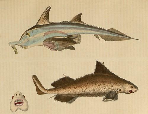 1 Callorhynque (Callorhynchus antarticus) 2 Squale (Squalus centrina)