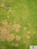 rhizoctonia on bermudagrass