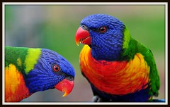 Lorikeets (Nev Cross) Tags: birds nikon parrots lorikeets rainbowlorikeets huntervalley d90 tamron70300vcusd