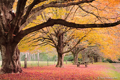 Autumn (-yury-) Tags: autumn red colour tree leaves yellow landscape australia bluemountains nsw mountwilson