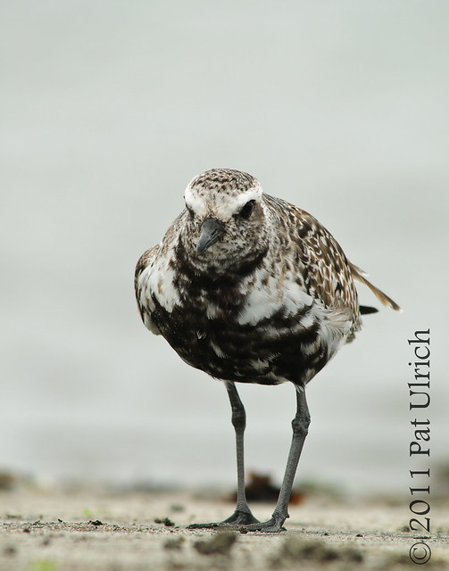 Black-bellied plover in Pillar Point Harbor by Pat Ulrich Wildlife Photography