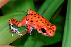 Oophaga Pumilio Bastimentos (Drriss) Tags: rainforest frogs amphibians herpetology anura dendrobatidae poisondartfrogs pumilio taxonomy:order=anura taxonomy:binomial=oophagapumilio taxonomy:family=dendrobatidae taxonomy:species=pumilio taxonomy:genus=oophaga taxonomy:superfamily=dendrobatoidea taxonomy:subfamily=dendrobatinae