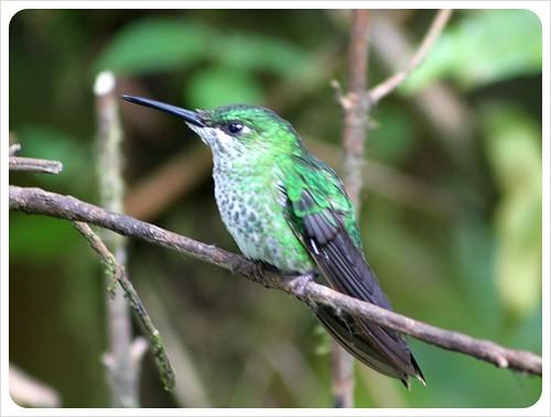 Green hummingbird in Monteverde