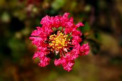 紫薇 (Fu-yi) Tags: flowers color macro sony taiwan alpha 花 dslr 台灣 花朵 微距 formosan 百日紅 lagerstroemiaindica 紫薇 千屈菜科 紫薇屬 滿堂紅 植物類 commoncrepe
