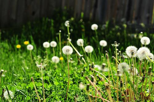 dandelion patch