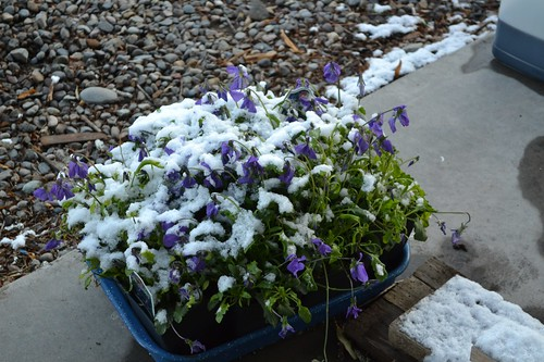 corsican violets and snow