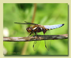 Platbuik ( Annieta  Off / On) Tags: nature netherlands canon spring dragonfly nederland natuur powershot april s2is lente allrightsreserved zuidholland voorjaar krimpenerwaard libel 2011 blueribbonwinner broadbodiedchaser platbuik annieta libelluledprime plattbauch loetbos macromarvels 100commentgroup beautifulmonsters libelluledepressa usingthisphotowithoutpermissionisillegal mygearandme mygearandmepremium mygearandmebronze mygearandmesilver elitedragonsanddamsels