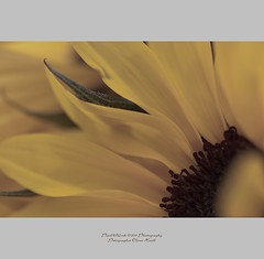 ... (oliver's | photography) Tags: flower fauna photoshop canon germany eos flora flickr raw image  adobe sunflower copyrighted 2011 pixelwork oneofmypics oliverhoell pixelwork11photography copyright2011bypixelwork allphotoscopyrighted